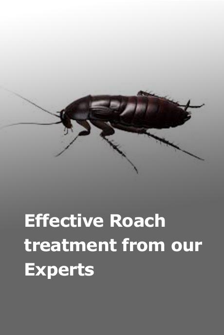 roach-1